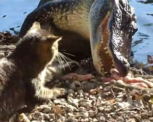 Cat vs. Alligator