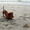 Dachshund Made Friends with a Crab