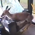 Deer crashes into bus in Johnstown