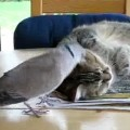 Annoying bird and the cat