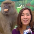 Thumb for Baboon Gets Handsy During Reporter's Live Shot