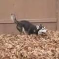 Thumb for Funny siberian husky