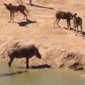 Warthog Stuck Between Wild Dogs and Crocodile