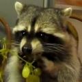 Thumb for Raccoon eating grapes
