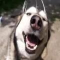 Husky Plus Head Massager Equals Happiness