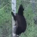 Black Bear Fails Climbing Across Rope