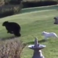Brave Bulldogs vs Bear