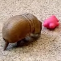 Thumb for Armadillo Playing Is The Cutest