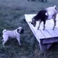 Baby Goat Shows Rowdy Pug Who's Boss
