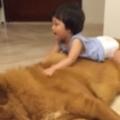 Little Girl Plays With Giant Tibetan Mastiff