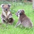 Thumb for Koalas fighting