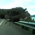 Bicyclist Crashes Into Deer While Speeding Downhill