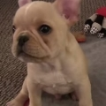 French Bulldog Puppy Shows Off His Dog Tricks