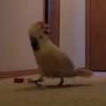 Gotcha the Moluccan Cockatoo