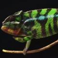 Thumb for How Do Chameleons Change Color?