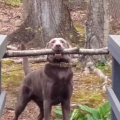 Thumb for Smart Dog Figures Out How To Carry Big Stick