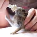 Little Bunny Rabbit Is Adorably Excited For Milk