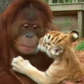 Thumb for Orangutans are great moms to tiger cubs