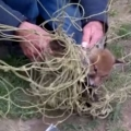 Man Rescues Baby Fox Tangled In Net