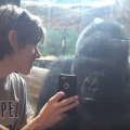 Thumb for Zoo gorilla gets entertained