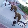 Bears scared away by a 20 pound French Bulldog