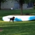 Thumb for Dog Runs Away With Inflatable Pool