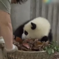 Thumb for Giant pandas create trouble