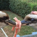 Thumb for Kookaburra tug of war