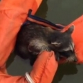 Rescuing A Raccoon From Drowning