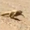Lizard Running To Shady Spot In Desert