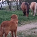 Excited dog desperately attempts to befriend horses