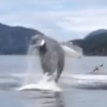 Humpback Whales Breaching By Kayakers