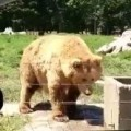 Brown Bear Makes An Impressive Catch