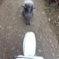 Trolling Ram Meets Biker
