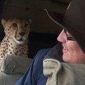 Wild Cheetah Jumps In Car