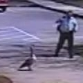 Aggressive Goose Shows Police Detective Who's Boss