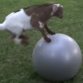 Thumb for Baby Goat Loves Ball