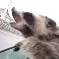 Adorable Raccoon Tries To Catch Rain Drops