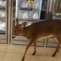 Deer Goes Grocery Shopping