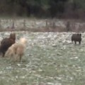 Ponies Chase Wild Boar After It Charges Woman