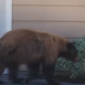 Bear And Man Spook Each Other