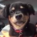 Little Foster Puppy Throws A Tantrum