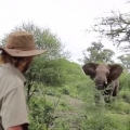 Man Halts Charging Elephants