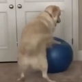 Doggo Gets Stuck On Exercise Ball