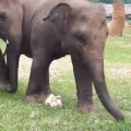 Baby Elephant Has World Cup Fever