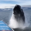 Humpback Soaks Alaskan Whale Watchers