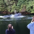 Thumb for Humpback Whales Surface in Front of Lodge