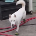 Cutest Husky Dog Trying On Shoes