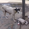 Anguished mother dog wails for wounded baby. Happy Ending!