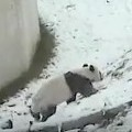 Giant Panda Tumbles Around In The Snow
